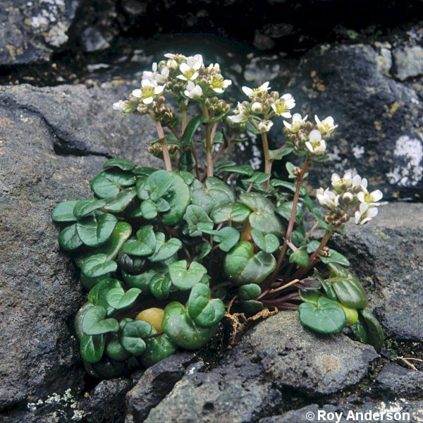 Cochlearia officinalis ssp. scotica