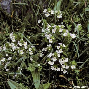 Euphrasia officinalis agg.